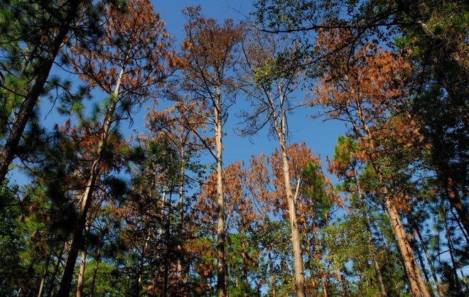 Once pine tree needles turn brown, pine bark beetles have already done their damage.