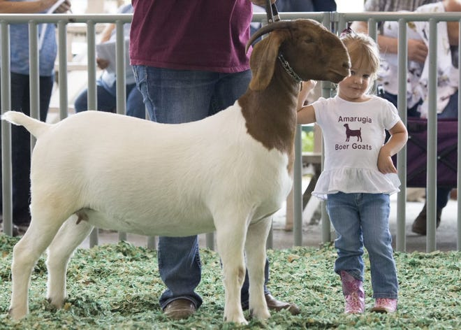 Meat goats will show this year at the Kansas State Fair as part of several special events allowed on the farigrounds, but these shows will not be open to the public. [Kansas state fair file photo]