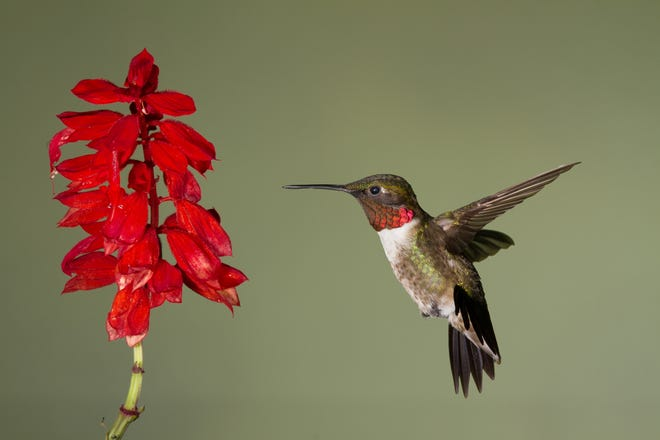 A ruby-throated hummingbird hovers in front of a flower, about to take a sip of nectar.