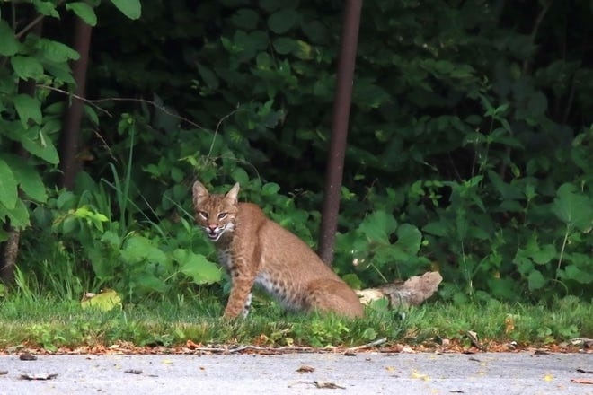 Photographer Bill Hulsebus took this photo  of a bobcat hunting Monday near Carver Middle School.