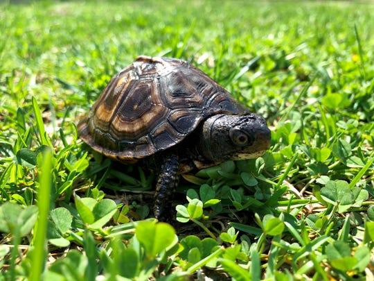 A box turtle