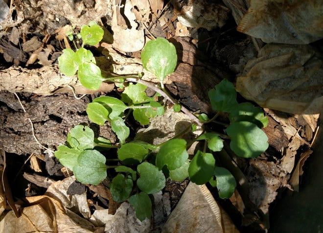 Growing Watercress