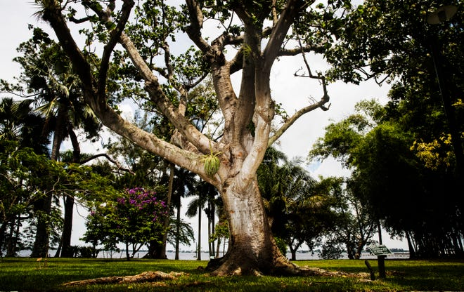 """This Indian Coral tree was awarded """"Florida Champion"""" status in the Florida Champion Tree Program 2019. It has a circumference of 114 inches and has a height of 35 feet. The tree is part of the gardens at the Edison & Ford Winter Estates."""