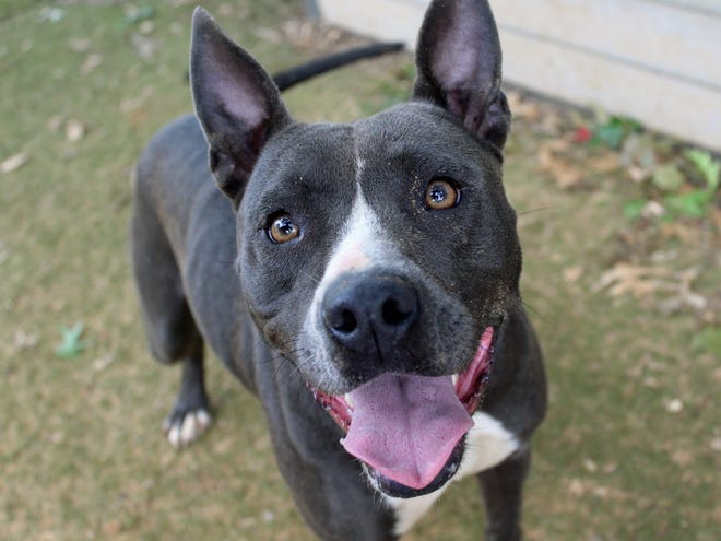 Dawn's adoption fee would be $60, which includes her spay surgery, vaccines, 12-month-supply of heartworm prevention, and microchip + registration.