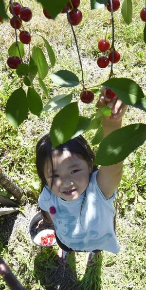 Rose Vue of Green Bay reaches for some tart montmorency cherries during a past summer at Paradise Farms Orchard in Brussels.  The pick-your-own-cherries season is in full swing in Door County.