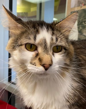 Hoodwink is one of the cats at the Oshkosh Area Humane Society waiting to be adopted.