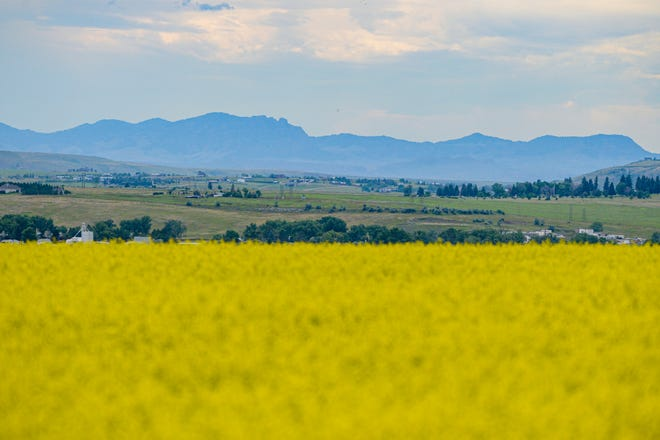 A canola field flourishes on the east edge of Great Falls. Temperatures in the 90s will hit the region this week after a cool start to summer.