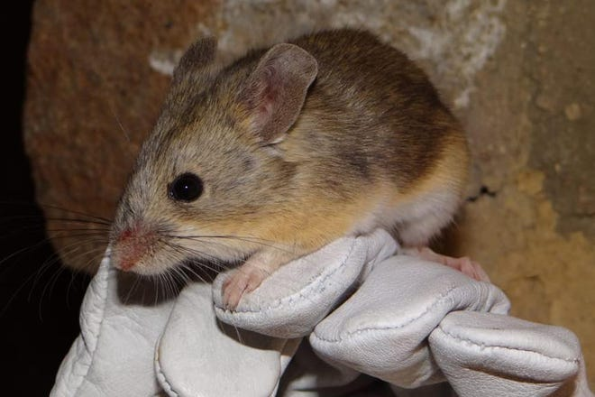 A yellow-rumped leaf-eared mouse captured near the summit of the Llullaillaco volcano on the border of Chile and Argentina. Credit: Marcial Quiroga-Carmona, Austral University of Chile