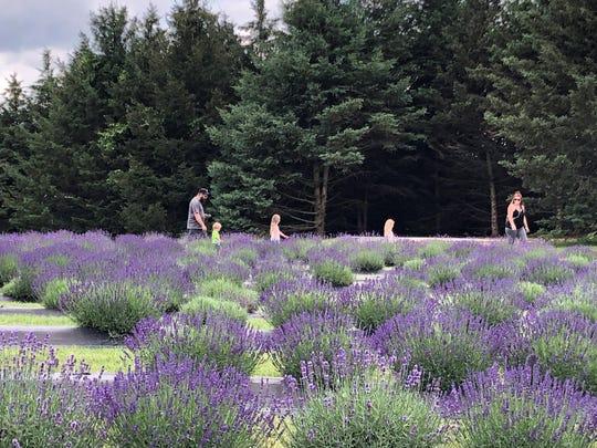 Indigo Lavender Farms in Imlay City is offering U-Pick lavender through Aug. 2.