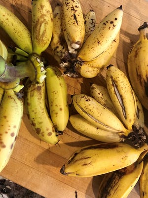 Sometimes called 'lady finger bananas' these sweet little guys grow nicely in Southwest Florida.