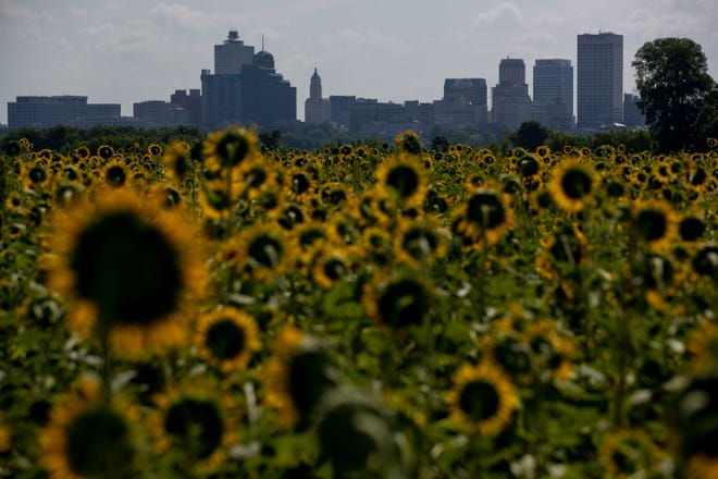 Downtown Memphis is seen over a field of sunflowers Monday, July 20, 2020, near the Big River Crossing in West Memphis, Ark.