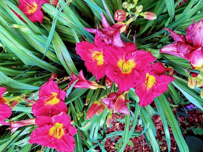Throughout the tough times in Jerry Apps' childhood, his mother would grow flowers that brought a little color to a dreary, worrisome time. Little things, like these daylilies hybridized by Apps' brother, Darrel Apps, are to be appreciated.