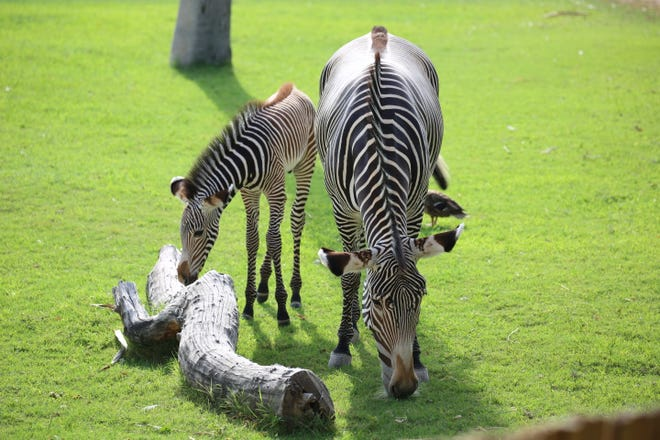 Zebra foul next to his mother Anna at the Reid Park Zoo.