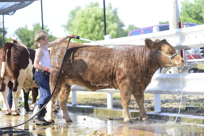 Rylee Bloomfield, 10, of Crestline, washes her heifer, Peaches, Tuesday afternoon at the Crawford County Fair.