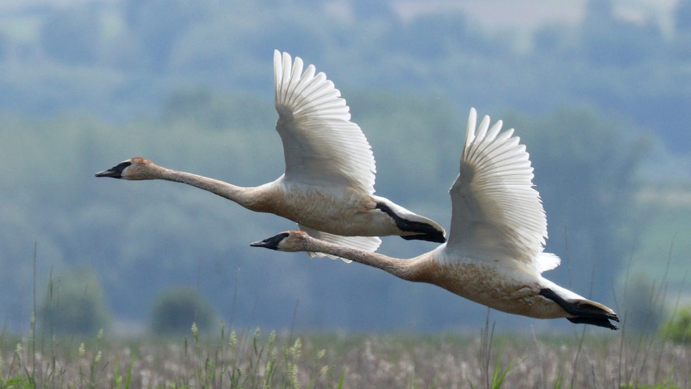 Threatened trumpeter swans shot in state park, conservation officers seeking the poachers