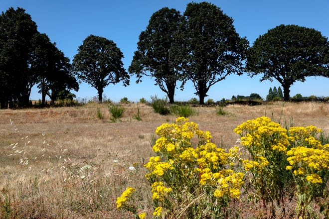 A row of white oaks is seen at the proposed site of a CostCo near Kuebler Boulevard and Boone Rd SE, in Salem, Oregon, on Tuesday, July 21, 2020. Residents in the area and South Gateway Neighborhood Association fear losing the ecosystem that the white oaks live in, and increase traffic in the area.