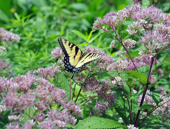 How to spot butterflies andbutterfly tagging are among the topics covered whenWheaton Arts & Cultural Center partners with the Cumberland County Improvement Authority to present a virtual eco week, Aug. 16 to 21.