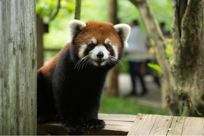 2-year old female red panda, named Kora, is on the loose after apparently escaping her habitat at the Columbus Zoo and Aquarium. She was discovered missing on July22