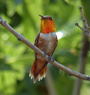 A male rufous hummingbird flashes its glittering throat feathers.