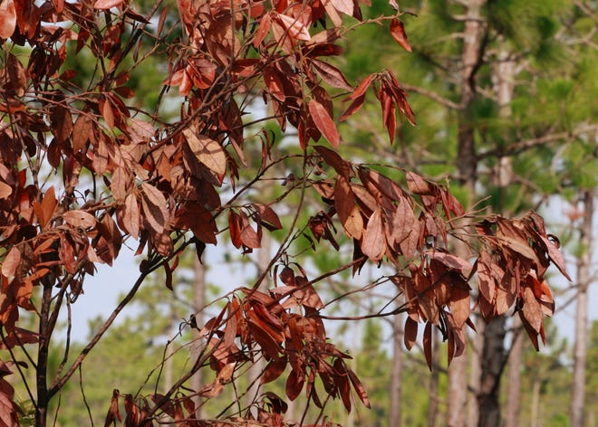 This red bay tree is dying from wilt.
