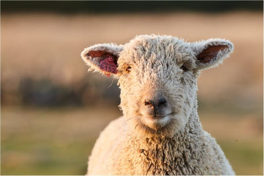 Look for a sheep mineral formulated for optimal intake and high calcium levels.