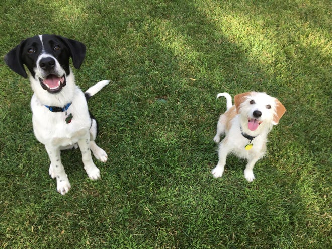 Frisco (left) and Levi (right) were among several dogs that were transported to Boulder Humane Society by Saving Pets At Risk (SPAR) and adopted into their forever homes.
