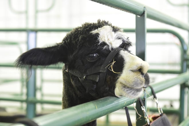 An alpaca looks around during the 2020 Crawford County Fair.