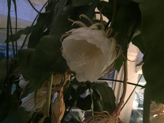 The night-blooming cereus' blooms last for only one night.