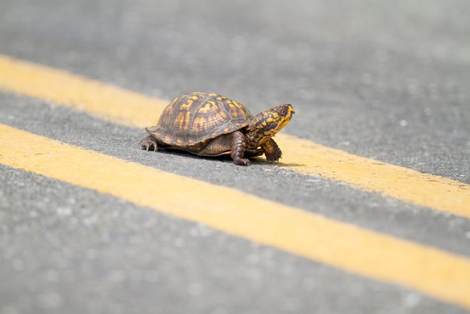 This box turtle crossing a road is not the turtle this story was written about. It's just a stand-in.