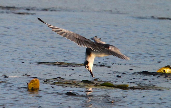 A juvenile black tern attempts to pluck food from floating vegetation at Rome Pond Wildlife Area near Sullivan. Black terns are listed as an endangered species in Wisconsin.