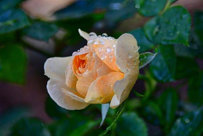 A flower in full bloom.