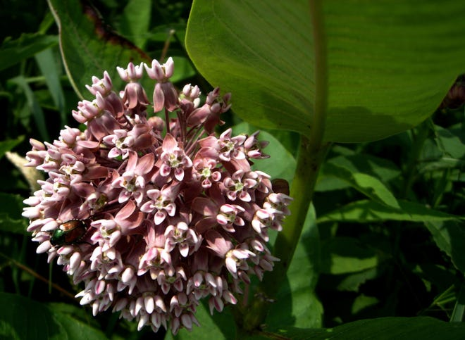If you are at all interested in butterflies, especially monarch butterflies, this mystery plant is for you.