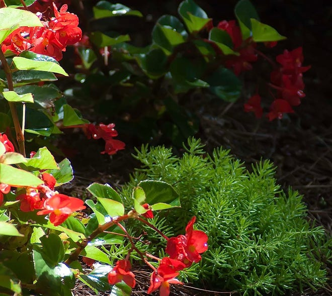 Lemon Coral sedum and Big Red begonia make a dramatic partnership in the summer landscape.