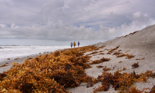 Rough seas in recent days caused some erosion, brought seaweed onshore and washed back sea turtles hatchlings.