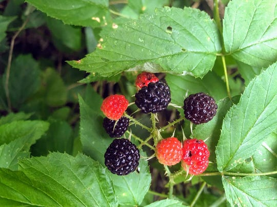 The little wild black raspberries that Jerry Apps' mother referred to as 'blackcaps' are having a heyday this summer around his Waushara County farm.