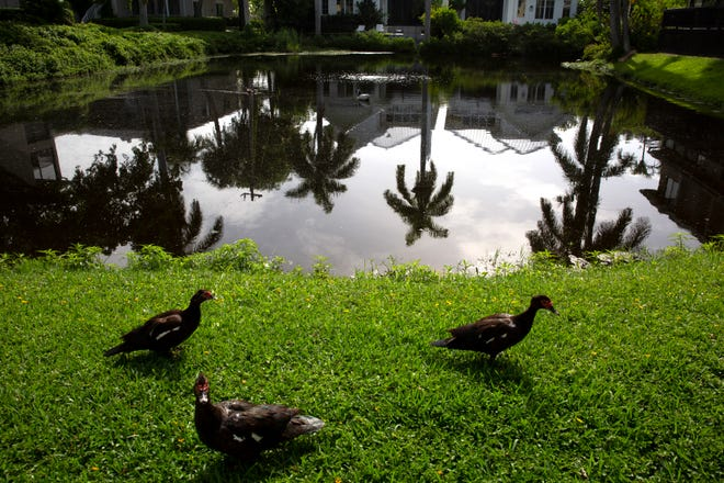 Muscovy ducks wander along the bank of the East Lake at Lois Selfon Park in Naples on Tuesday, July 28, 2020.