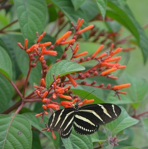 The showy blooms of Mexican Firebush are attractive to a variety butterflies and hummingbirds. Insect pollinators like them too.