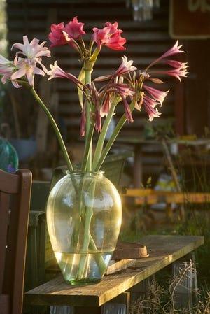 Crinum lilies make lovely cut flowers.
