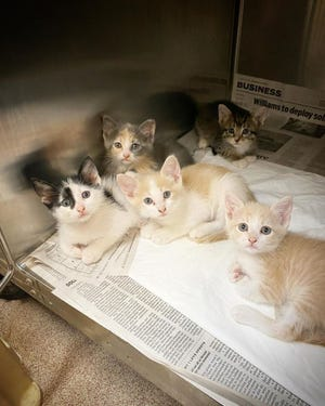 The Ardmore Animal Shelter has recently seen a  influx of cats and kittens. More than 70 cats are currently awaiting adoption at the shelter, and over 70 kittens are currently in foster care to be returned once they are old enough to adopt.