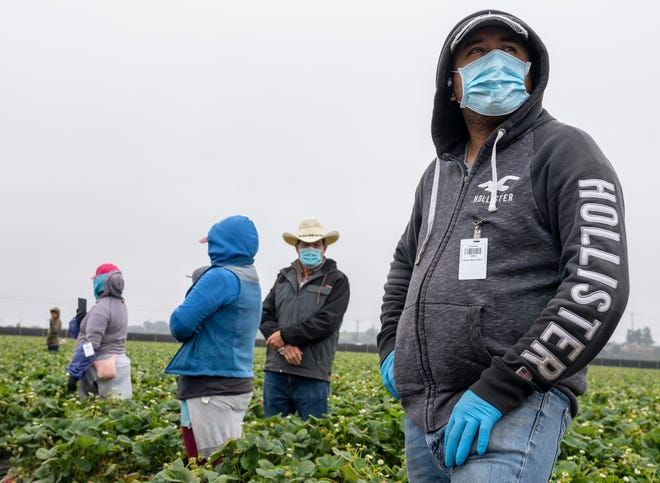 Jose Suarez, a strawberry farmworker, has been working in the strawberry fields since 2001. Suarez wears a medical face mask as he stands near rows of strawberry fields in  Watsonville, Calif., on Wednesday, July 29, 2020.