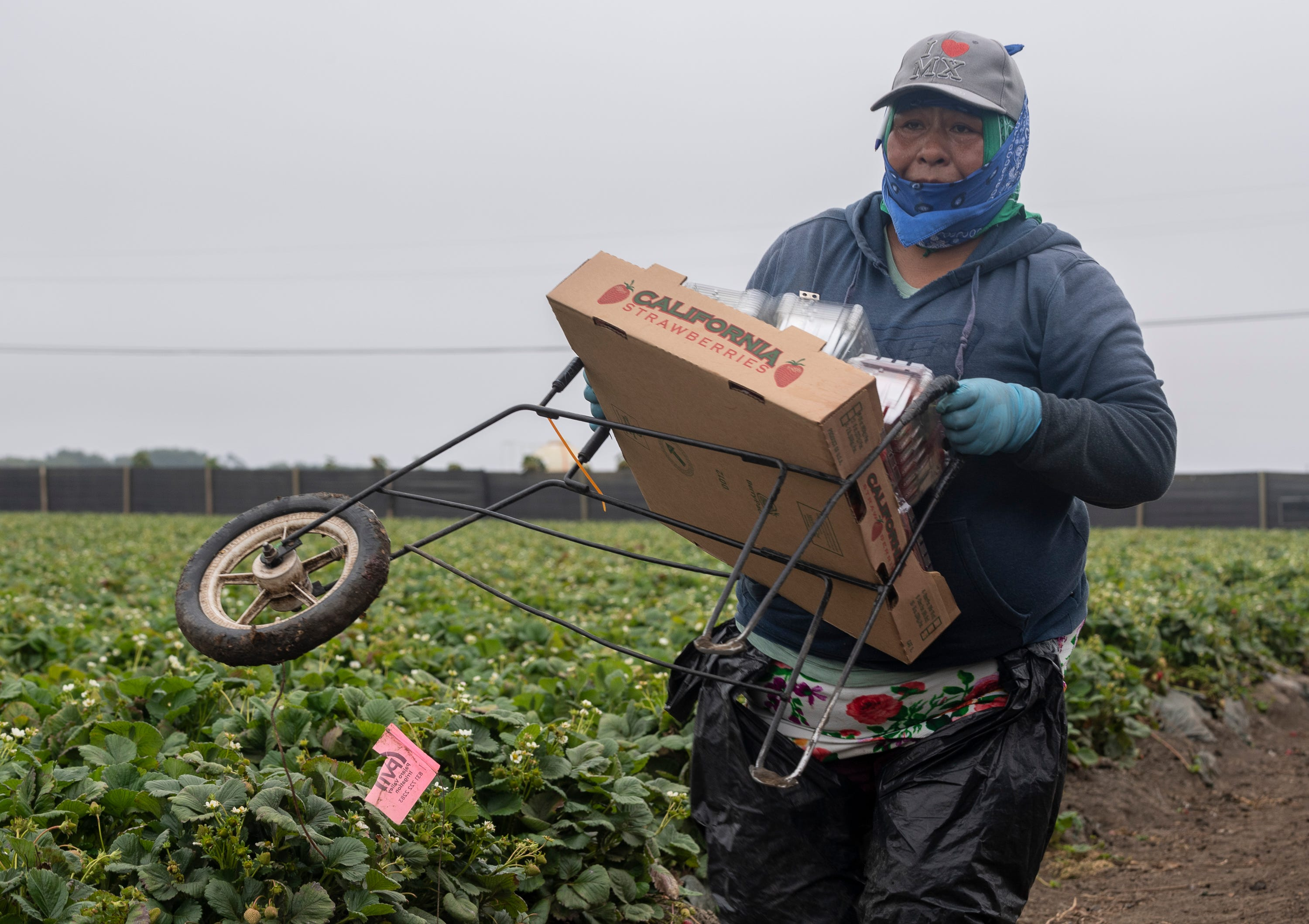 A woman carries her one-wheel cart that she uses to pick strawberries in Watsonville, Calif., on Wednesday, July 29, 2020.
