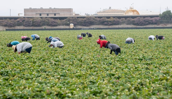 Farmworkers pick strawberries in Watsonville, Calif., on Wednesday, July 29, 2020.