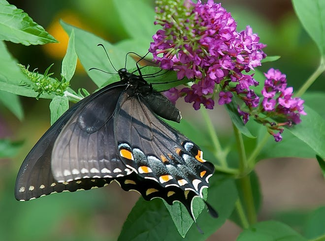 This female dark morph eastern tiger swallowtail finds the Lo & Behold Ruby Chip butterfly bush to be just perfect.