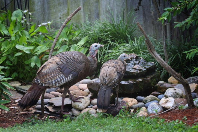 A wild turkey hen and her juvenile poult visit the backyard bubble rock, part of the evidence that 2020 has been an excellent nesting season.