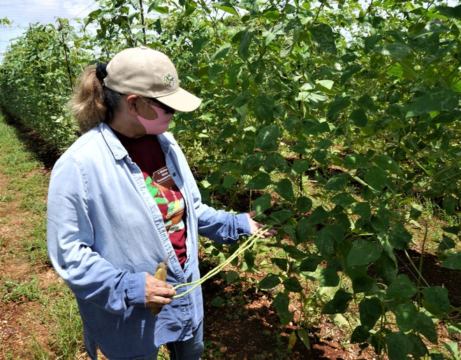 Kathrina Reyes checks out the long bean crop on her Dededo farm, July 27, 2020. Reyes, an officer of the Farmers' Cooperative Association of Guam, said the co-op intervened in the market, sharply boosting its membership.