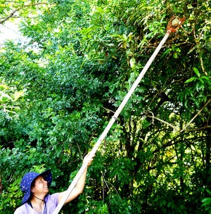 Jenny Tedtaotao harvests a mango in Yona July 16, 2020. Tedtaotao took to gardening during the COVID-19 pandemic.