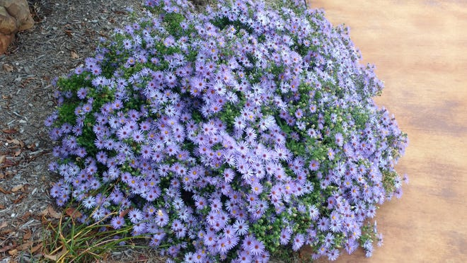 A fall aster blooming here in San Angelo in October.