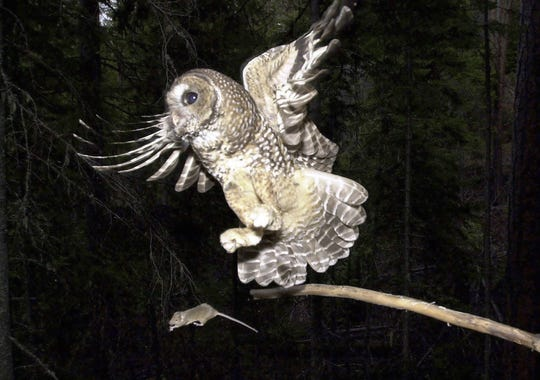 FILE - In this May 8, 2003, file photo, a Northern Spotted Owl flies after an elusive mouse jumping off the end of a stick in the Deschutes National Forest near Camp Sherman, Ore.