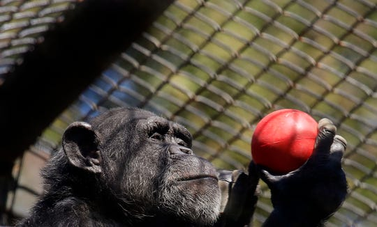 A chimpanzee holds an enrichment treat at the Oakland Zoo in Oakland, Calif., on April 14, 2020. Zoos are struggling to take care of their animals and stay financially solvent as COVID-19 keeps crowds away.