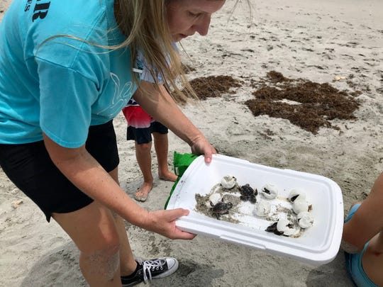 Sea Turtle Preservation Society board chair Susan Skinner carefully handles loggerhead sea turtle hatchlings and eggs Monday afternoon from a Satellite Beach nest that was wrecked by Tropical Storm Isaias.